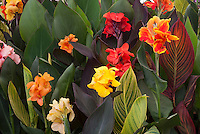 Cannas in big showy flowers and foliage, variety
