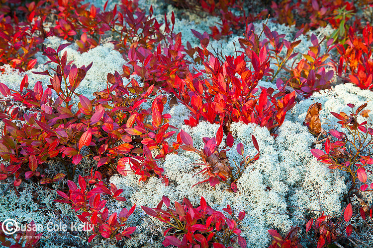 Autumn color, blueberry bushes and reindeer moss in Acadia National Park, Downeast, ME, USA