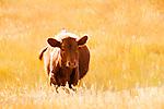Beef cow in field