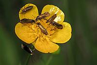 Urmotte, Dotterblumen-Schabe, Micropterix calthella, Micropteryx calthella, Phalaena calthella, Micropteryx silesiaca, Micropterix silesiaca, Marsh Marigold Moth, Marsh marygold moth, Plain gold, Urmotten, Micropterigidae