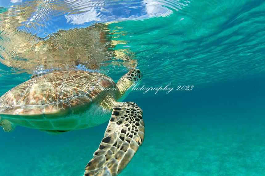 Green Sea Turtle<br /> Caneel Bay Resort<br /> Virgin Islands National Park<br /> St. John<br /> US Virgin Islands