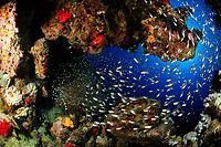 School of golden sweeper (scientific name: Parapriacanthus ransonneti) off Hamata coast, Egypt, Red Sea.