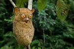Adult Tarsier (Tarsius bancanus). Lowland dipterocarp rain forest, Danum Valley, Sabah, Borneo.