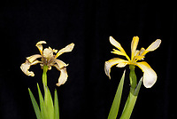 Iris foetidissima, two forms,clear yellow at top, murky yellow at bottom