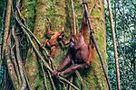 Sumatran orangutans, Sumatra, Indonesia