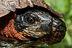 Wood turtle, close-up of face and neck.