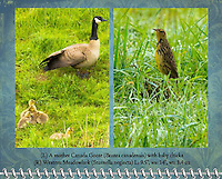 """March of the 2012 Birds of a Feather Calendar.  These photos are called """"Proud Mother Canada Goose"""" and """"Western Meadowlark in wet grass"""" and shows a Western Meadowlark (Sturnella neglecta)  is seen standing tall and upright in a grassy field with morning dew glistening in the sun at the Ridgefield National Wildlife Refuge"""