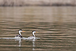 Lake Hodges, Escondido, San Diego, California; a mating pair of Clark's Grebes (Aechmophorus clarkii) with two newborn chicks tucked under the feathers of the mother's back, swimming on the surface of Lake Hodges