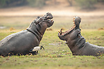 Pictured: A large hippopotamus demonstrates the size and power of its jaw as it prepares to fight another.   Hippos, which often fight over mating partners and territory, open their wide jaws to assert dominance.<br /> <br /> The giants can often weigh upwards of 2,000kg (315 stone), and are considered one of the most dangerous animals in Africa.   The photos were taken on the Chobe River, in Botswana, by South African wildlife photographer Charl Stols.   SEE OUR COPY FOR DETAILS<br /> <br /> Please byline: Charl Stols/Solent News<br /> <br /> ©Charl Stols/Solent News & Photo Agency<br /> UK +44 (0) 2380 458800