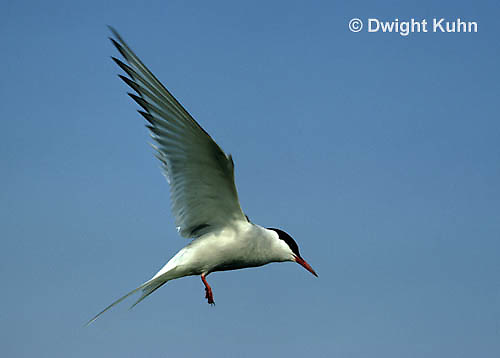 MC59-001z  Arctic Tern - flying above island - Machias Seal Island, Bay of Fundy - Sterna paradisaea