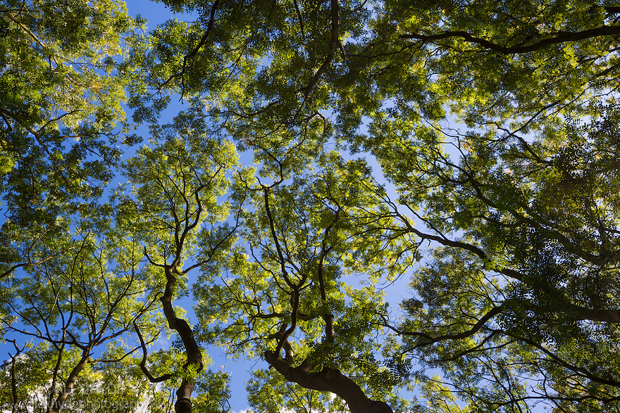 Looking up at an Ash {Fraxinus excelsior} woodland canopy. Cambridgeshire, UK. September.