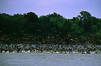 revoada de biguás (Phalacrocorax olivaceus) no rio Guaporé  (fronteira Brasil - Bolívia) - Rondônia