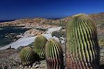 giant barrel cacti on Isla Santa Catalina