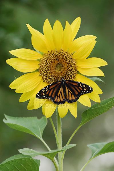 Monarch, Danaus plexippus, adult on sunflower, Willacy County, Rio Grande Valley, Texas, USA