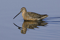 Long-billed Dowitcher wading through some shallow water at a marsh