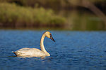 Trumpeter swan swimming in northern Wisconsin.