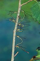 Gemeine Weidenjungfer, Paar, Pärchen bei Eiablage, Eier, Ei, Chalcolestes viridis, Lestes viridis, Willow Emerald Damselfly, pair, eggs, oviposition, egg deposition, Binsenjungfer