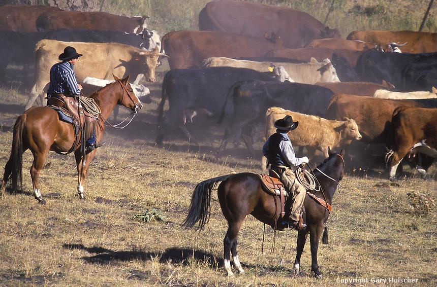 Cowboys herding cattle. Ponderosa Ranch, Seneca,OR.