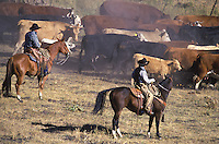 Cowboys herding cattle. Ponderosa Ranch, Seneca,OR.