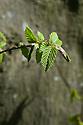 A new shoot on the trunk of a common hornbeam (Carpinus betulus), mid April.