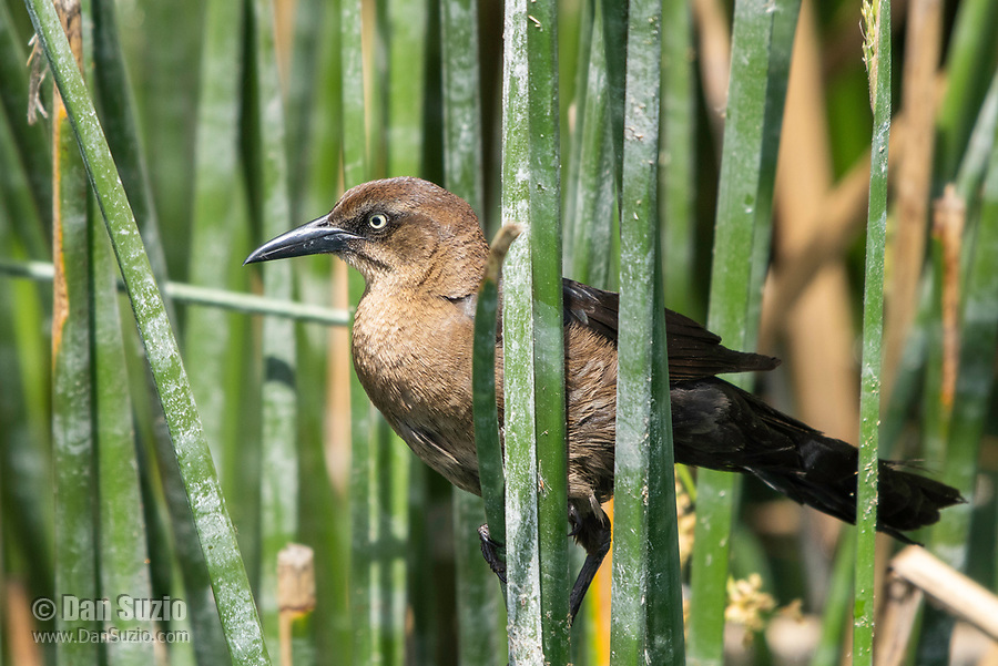 A female Great-tailed Grackle, Quiscalus mexicanus, perches in reeds in the Riparian Preserve at Water Ranch, Gilbert, Arizona