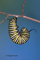 MO06-500z   Monarch forming a Chrysalis - Danaus plexipuss