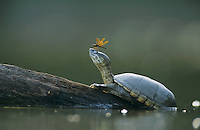 Yellow Mud Turtle, Kinosternon flavescens, adult sunning on log with Eastern  Amberwing Dragonfly on nose, Starr County, Rio Grande Valley, Texas, USA