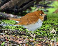 Veery in spring migration