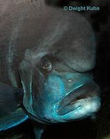 TP17-500z Frontosa Fish, Close-up of face and head bump,  Cyphotilapia frontosa