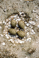 Säbelschnäbler, Nest, Gelege, Bodennest mit Eiern, Eier, Ei, Recurvirostra avosetta, avocet