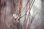 American Tree Sparrow perched on a small branch.