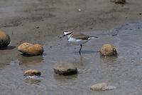 Seeregenpfeifer, See-Regenpfeifer, Männchen, Regenpfeifer, Charadrius alexandrinus, Kentish plover, male