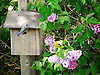 Birdhouse,bird entering birdhouse,tit,blue tit,Lilac.<br /> <br /> Stock Photo by Paddy Bergin