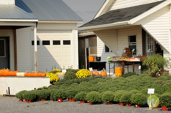 Amish farm market with mums and pumpkins. Nippenose Valley, PA.