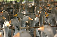 A goose farm near Beihai, Guangxi. Geese are reared here for ninety days before being transferred to warehouses where they are force fed. Foie Gras, the French delicacy, made from the liver of geese that have been force fed is now being produced by an enterprising Chinese businessman. ..PHOTO BY SINOPIX