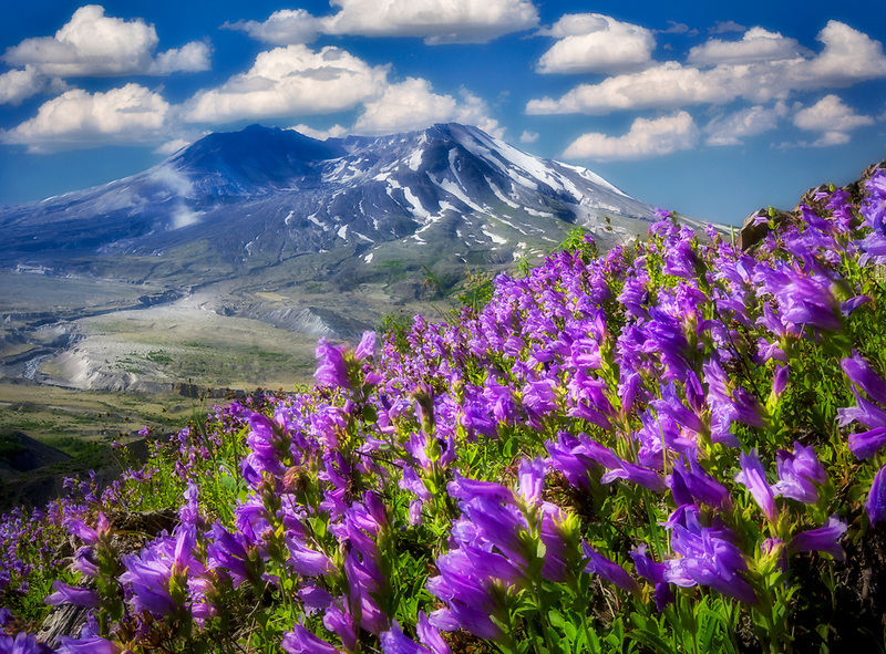 Purple Penstenon and Mt. St. Helens, Washington