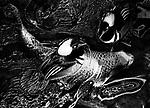 Koi and Merganser Ducks 2 (b&w)