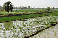 NIGER Niamey, farming at the banks of river Niger, paddy fields