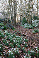 Galanthus 'Galatea' Naturalising in the Ditch