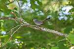 Gray catbird on a June day in northern Wisconsin.