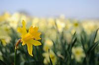 Narcissus 'Maximus Superbus'
