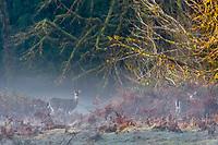 Columbian black-tailed deer (Odocoileus hemionus columbianus) does.  Olympic National Park, WA.  December.