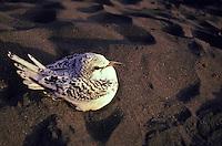 """Juvenile white-tailed tropicbird, Koae kea, also called """"""""canyon birds"""""""", Phaeton lepturus."""