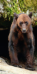 Black bear, Anan Creek, Tongass National Forest, Alaska, USA