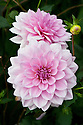 Dahlia 'Pearl of Heemstede', early August.