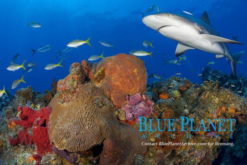 Caribbean reef shark (Carcharhinus perezii) on a healthy Bahamian reef