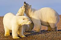 polar bear, Ursus maritimus, mother and cubs, Barter Island, Arctic National Wildlife Refuge, Alaska, polar bear, Ursus maritimus