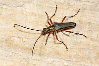 Variabler Stubbenbock, Stenocorus meridianus, Variable longhorn, Variable Longhorn Beetle