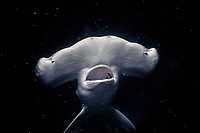juvenile scalloped hammerhead shark, Sphyrna lewini (c), Kaneohe Bay, Hawaii, Pacific Ocean