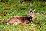 White-tailed Deer doe laying down in grassy field